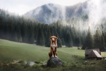 Nova Scotia duck tolling Retriever in the mountains. A dog on th