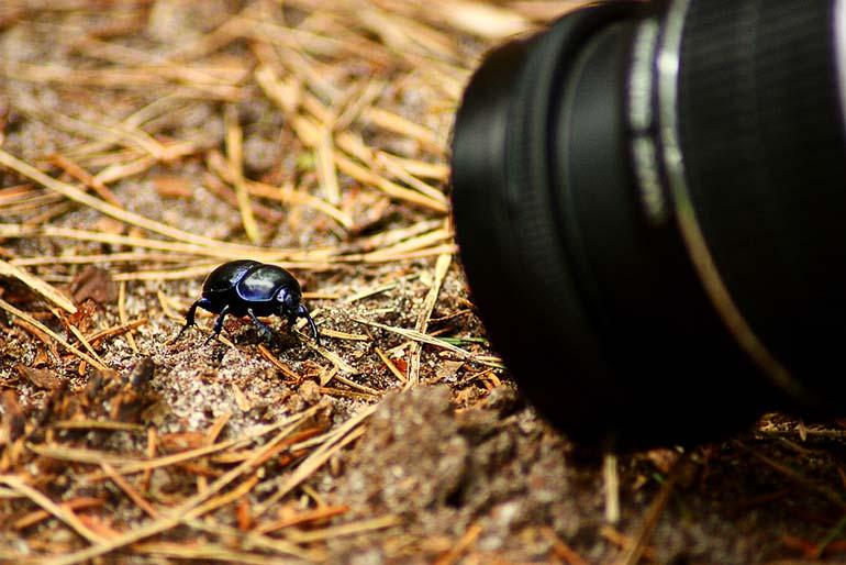 macro photography trypocopris vernalis