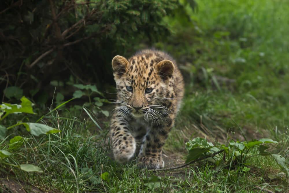 вымирающие животные леопард