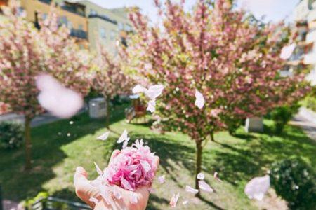 Фотоколлекция: цветение сакуры