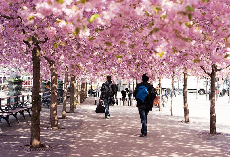 фото людей под цветущей сакурой