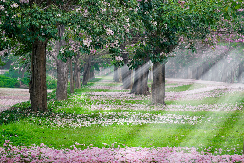утренний пейзаж цветения сакуры