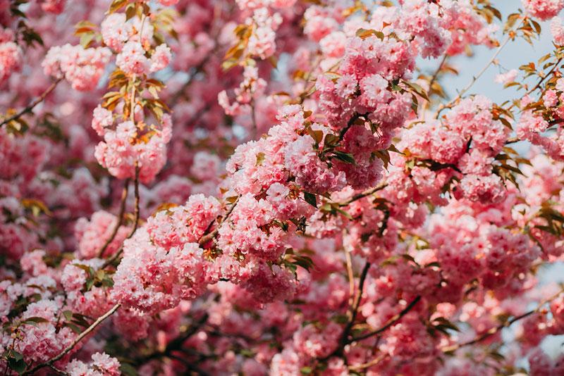 цветение сакуры крупным планом