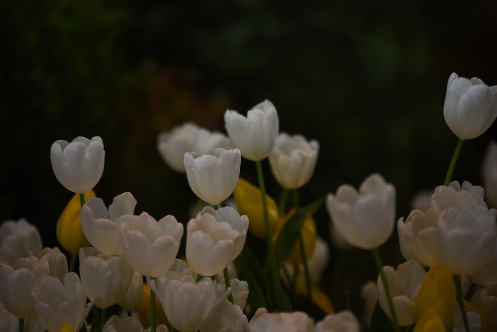 фото тюльпанов на темном фоне