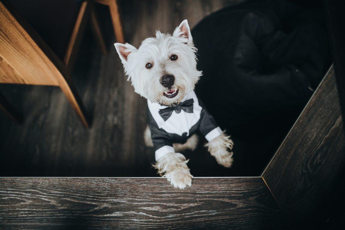 Маленькая собака в смокинге фото