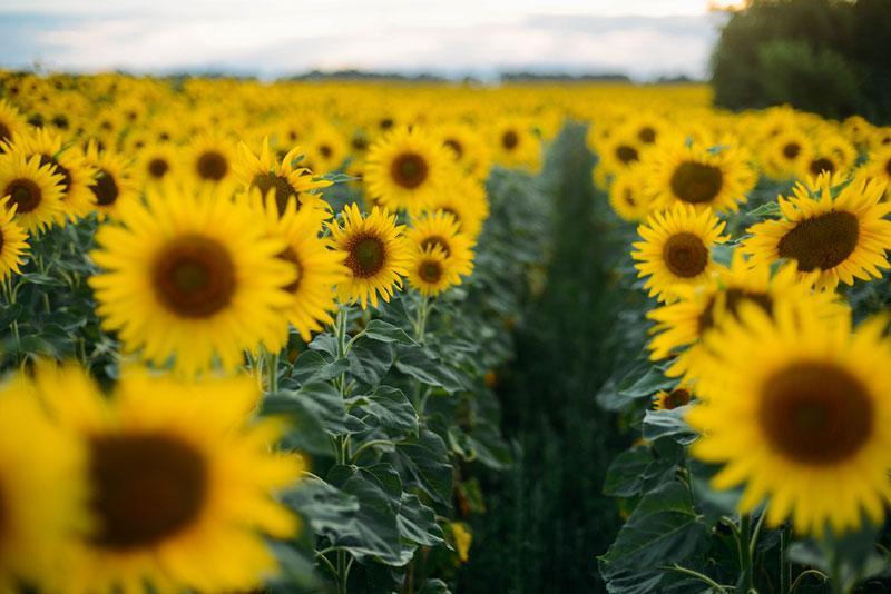 Фото поле соняшників