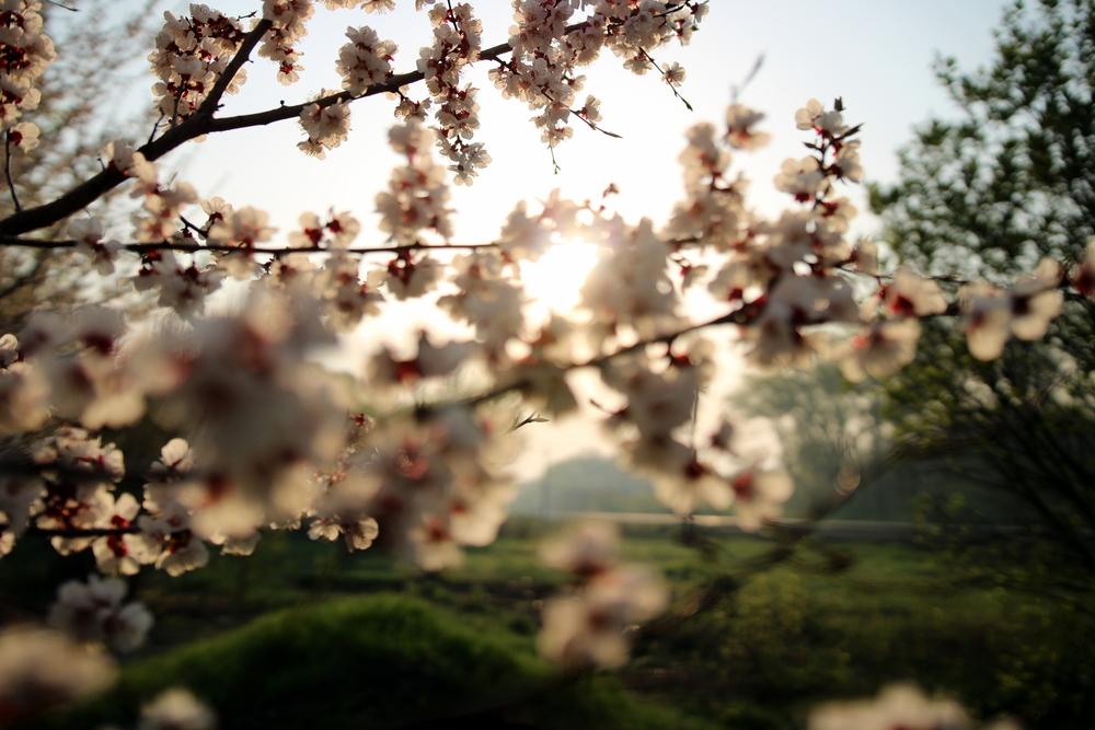 Фото цвітіння вишні