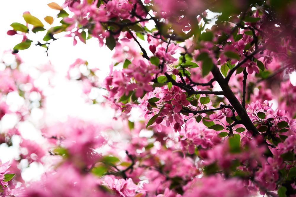 Фото цвітіння яблуні