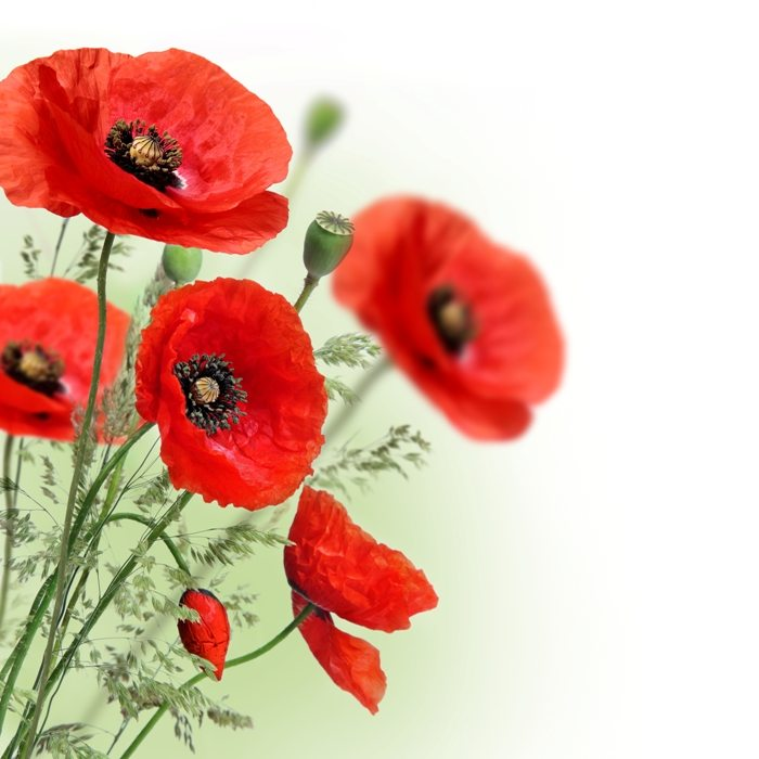 Poppies flowers border | Stock Photo © Depositphotos