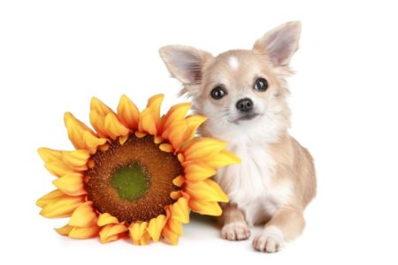 White chihuahua dog lying with sunflower | Stock Photo © FotoJagodka