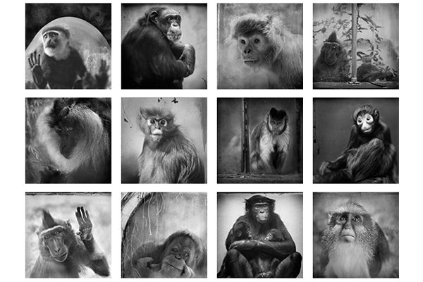 Behind Glass. Monkeys Black and White Photos
