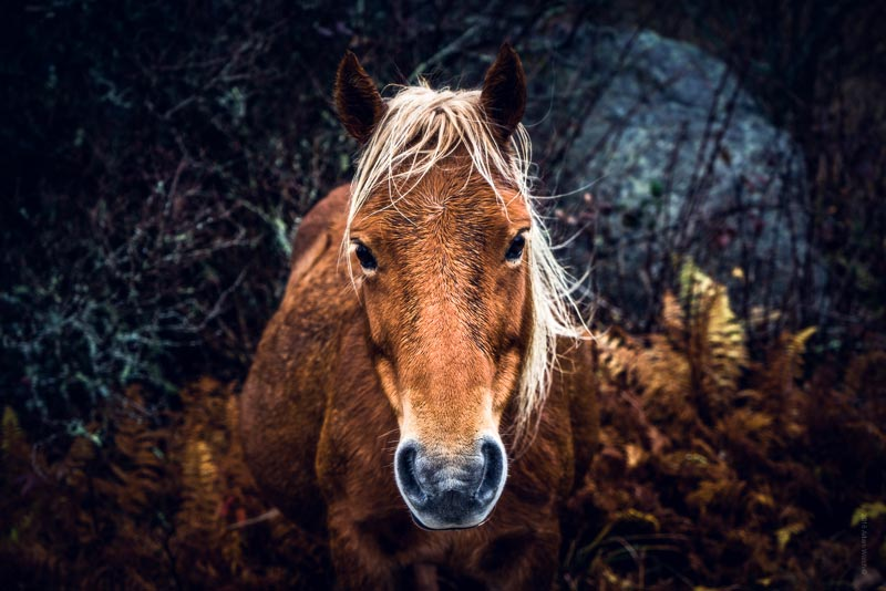 Try convincing a wild pony to look directly at the camera for more than one shot…