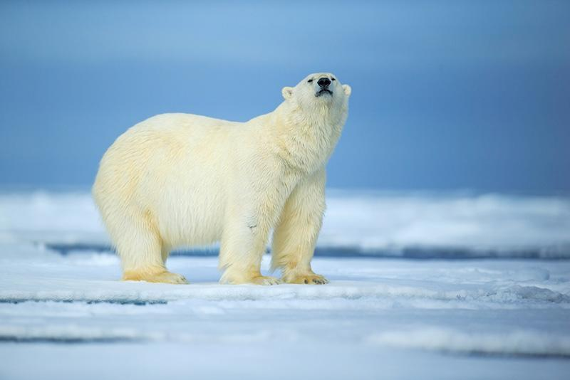 wildlife photography interview with a stock photographer polar bear