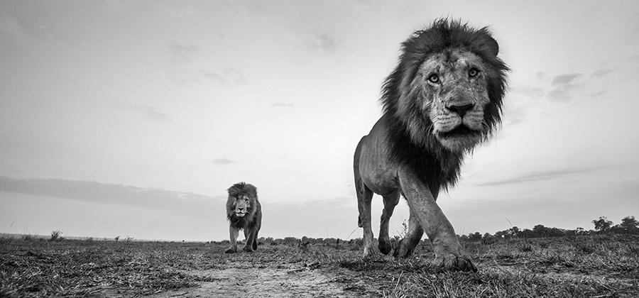 wildlife photography black and white anup shah
