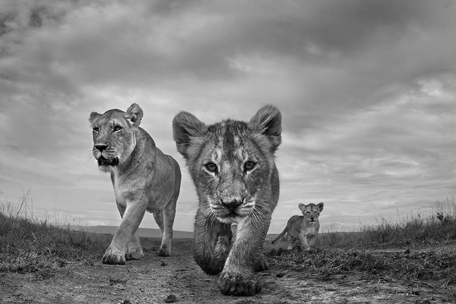 black and white wildlife photography anup shah