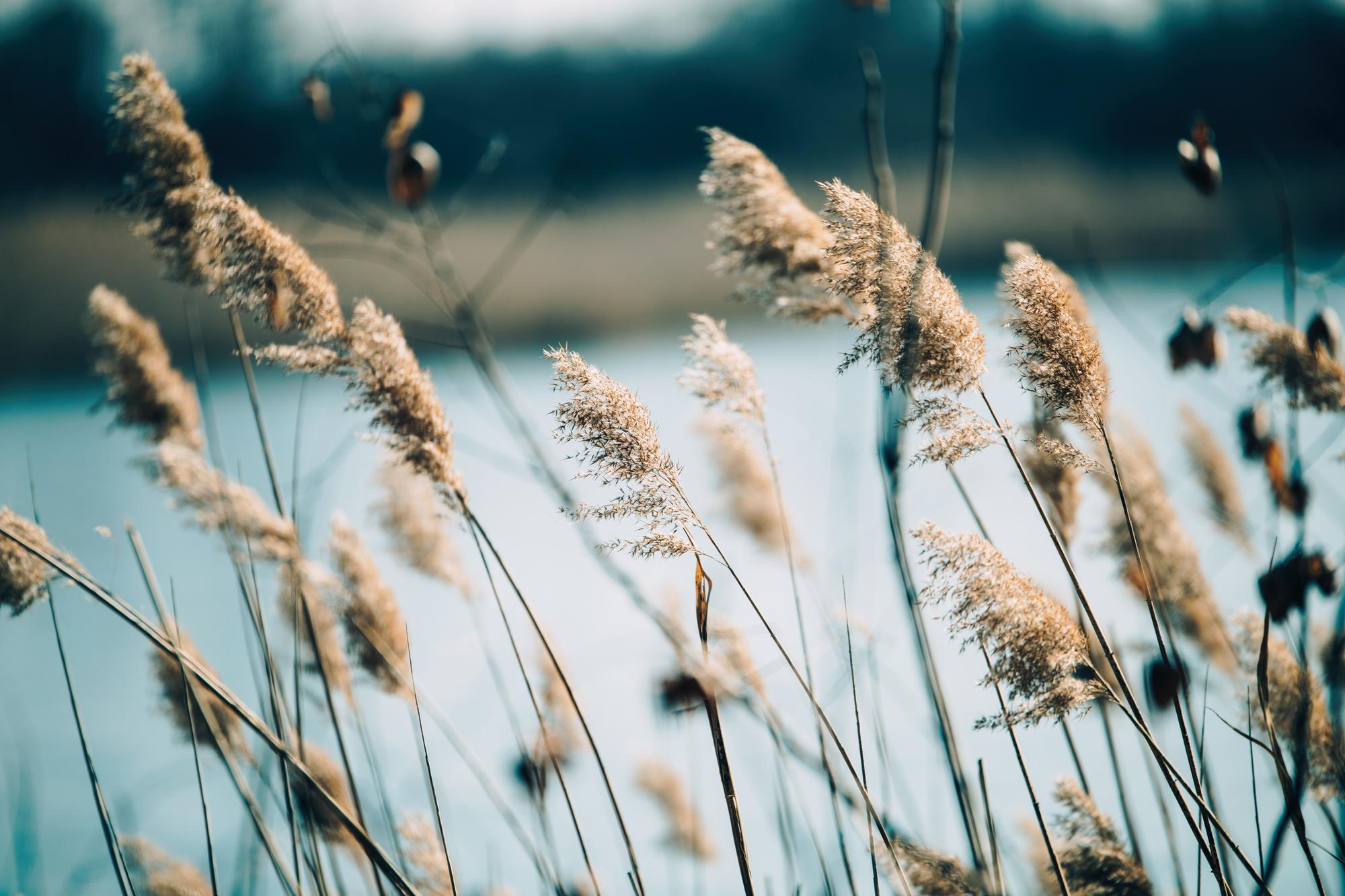stock photo Beautifu vintage reed as background at windy lake
