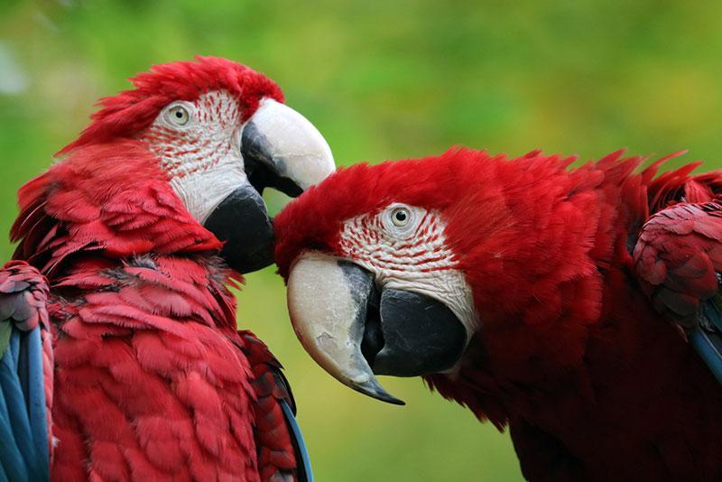 wild macaw birds