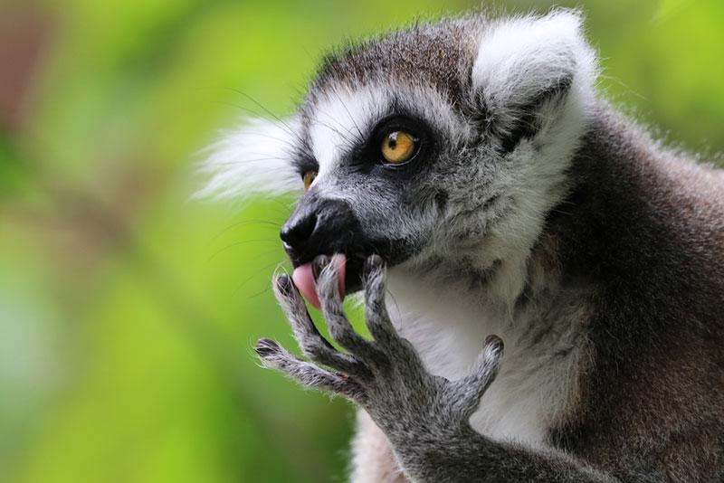 image of lemur at the zoo