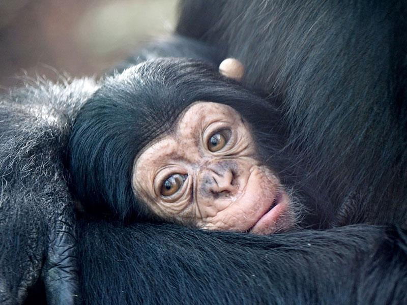 baby chimp with mom