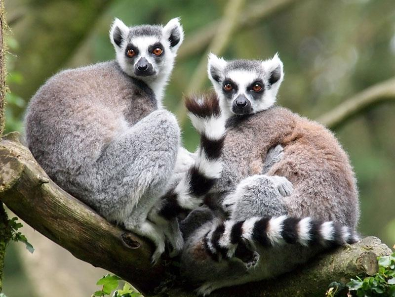 two lemurs wildlife photography