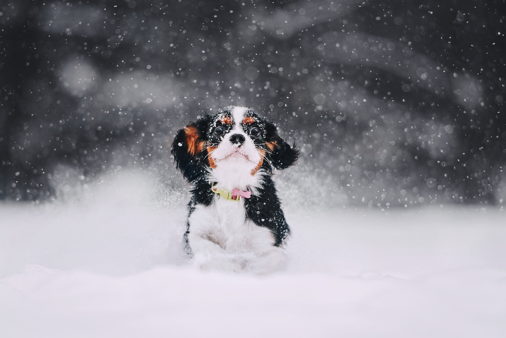 spaniel running in the snow