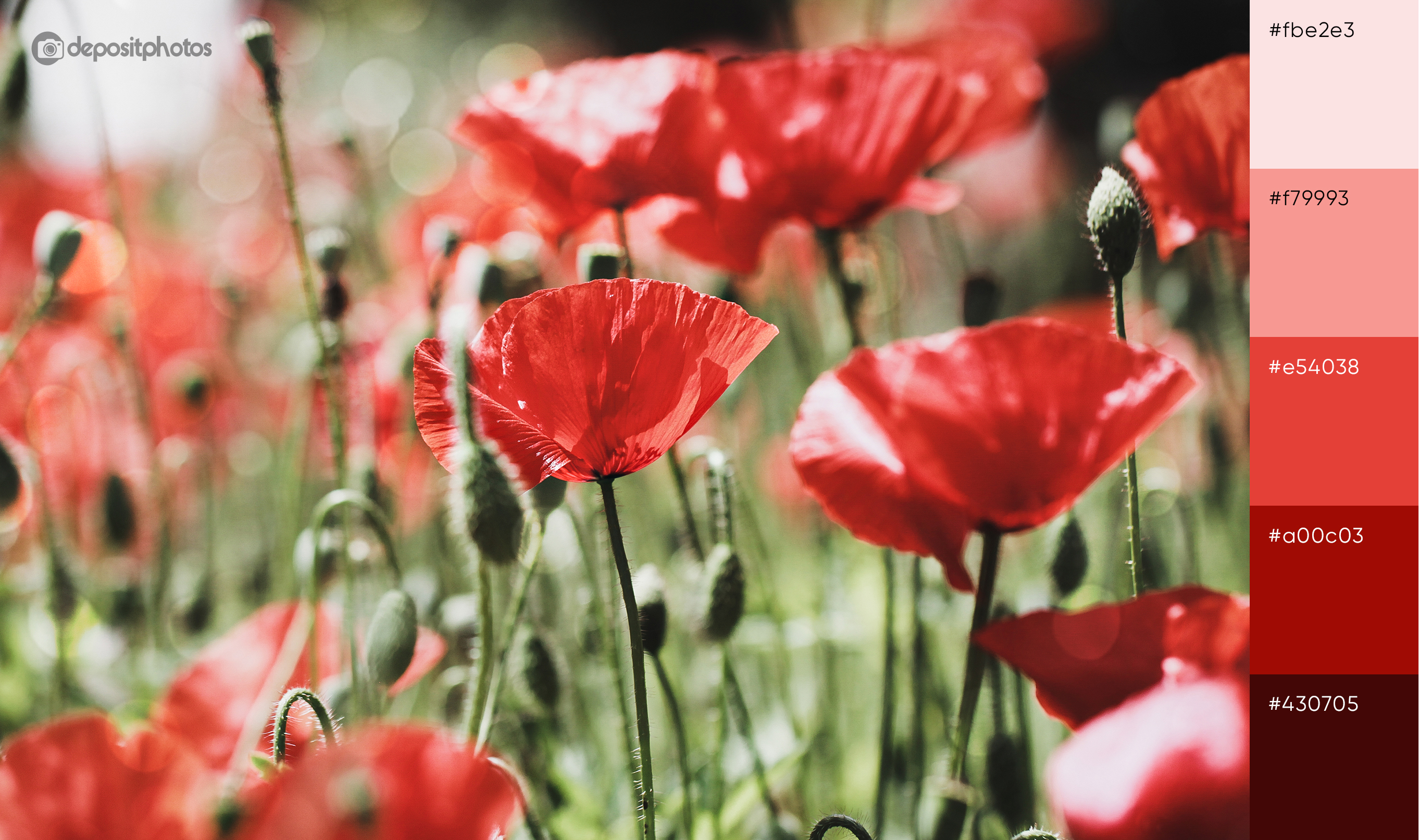 stock photo of red poppies