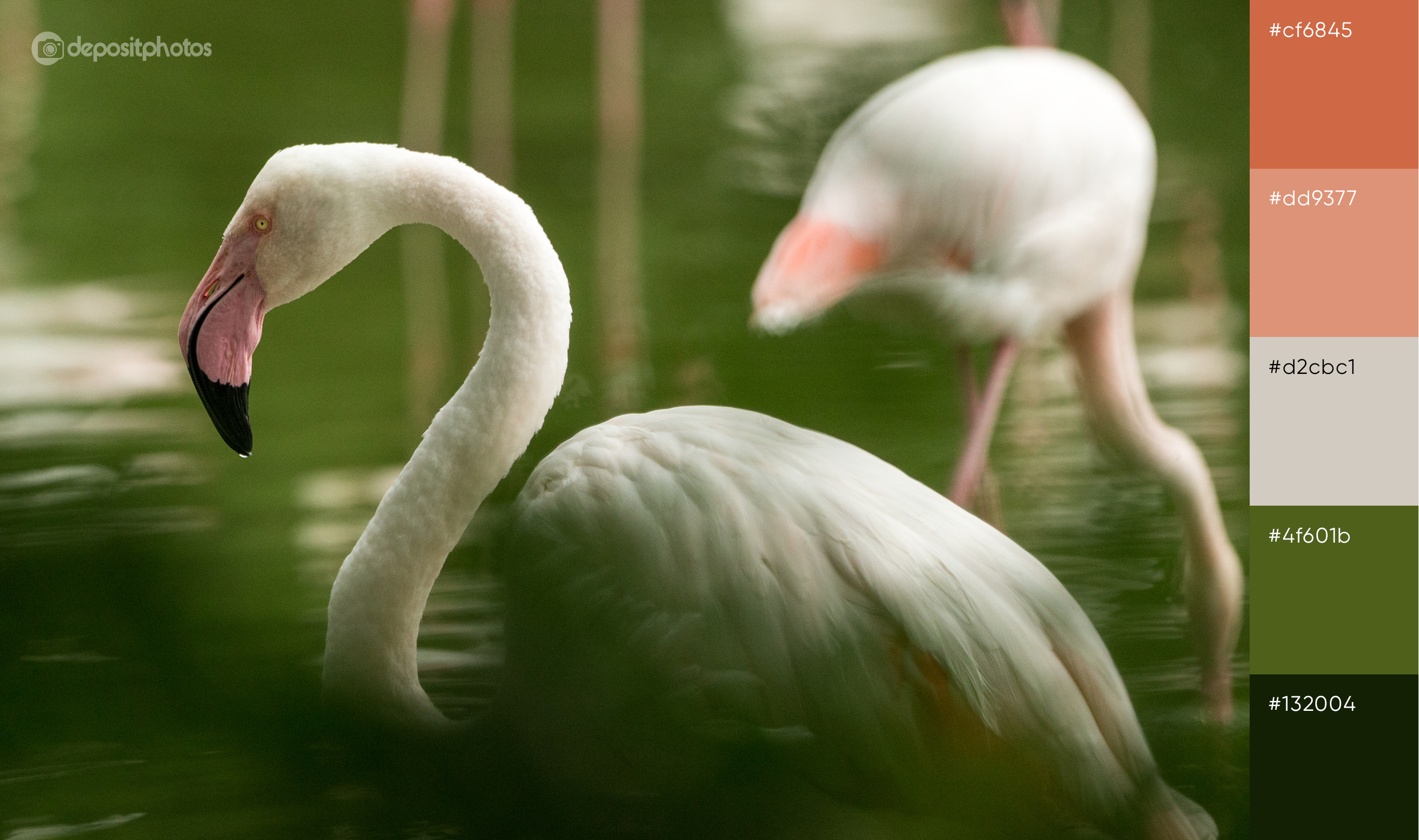 stock photo of white flamingos