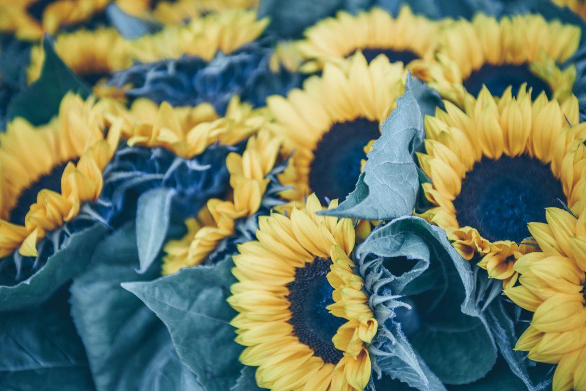 Decorative Sunflowers bunch stock photo
