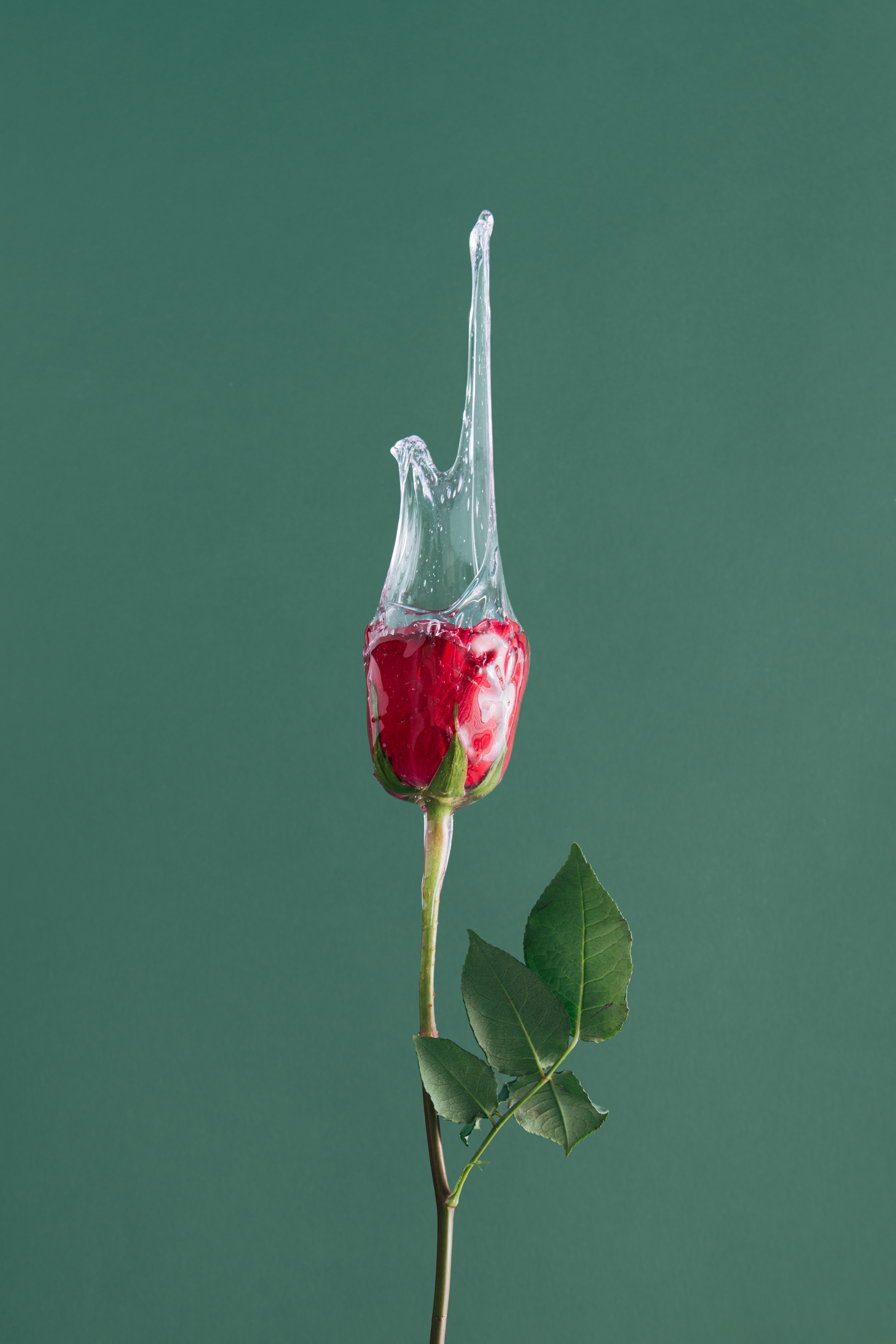 Red rose flower with slime against green background