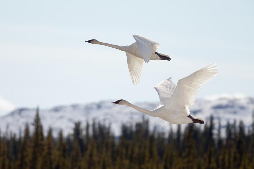 stock photo spring swans flight
