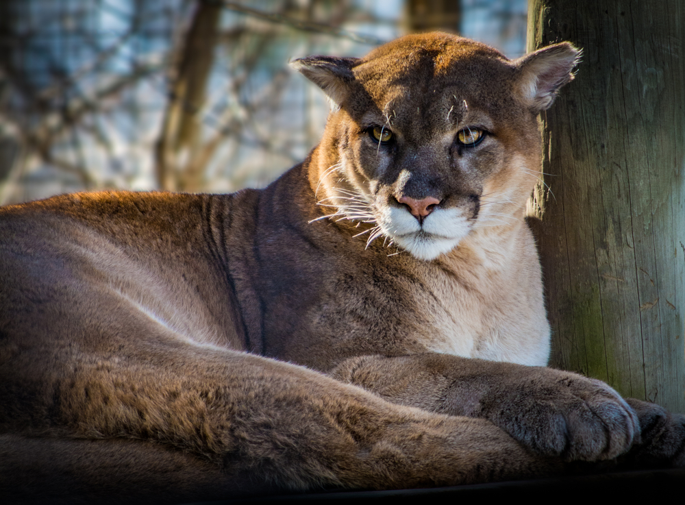 stock photo wildlife cougar