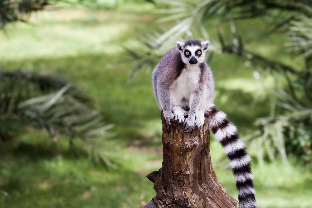 stock photo wildlife lemur