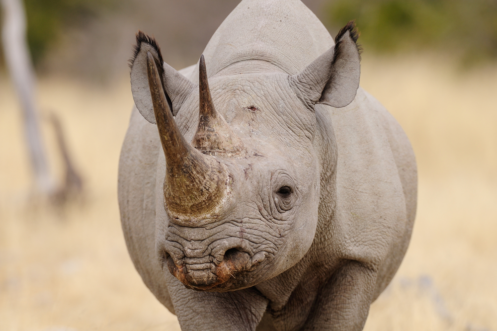 stock photo wildlife black rhino
